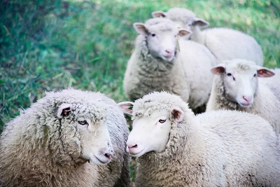 Small group of white sheep - Green construction