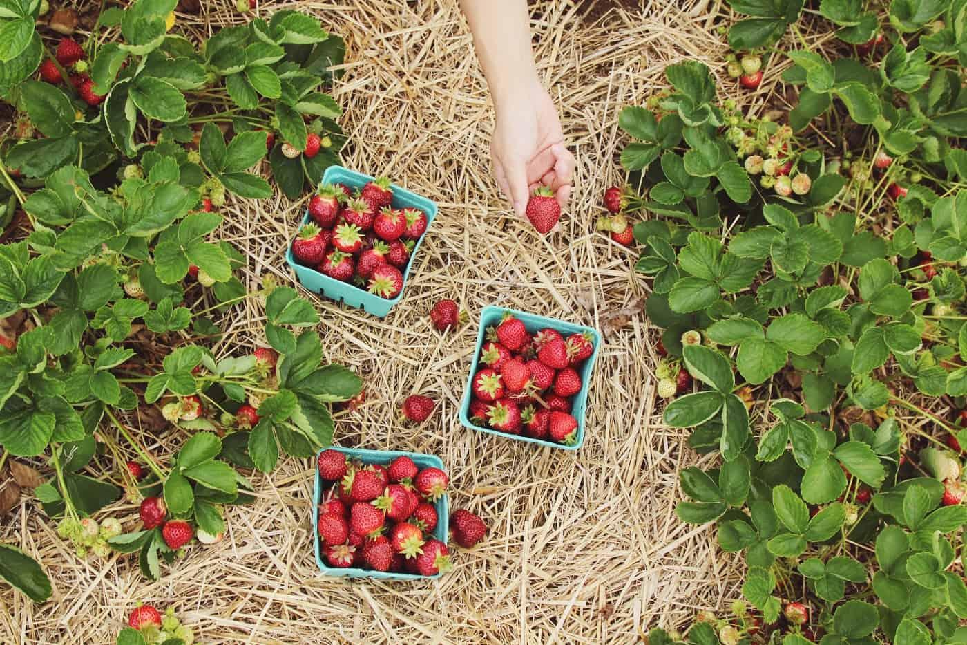 Picked strawberries in garden - Reduce that carbon footprint