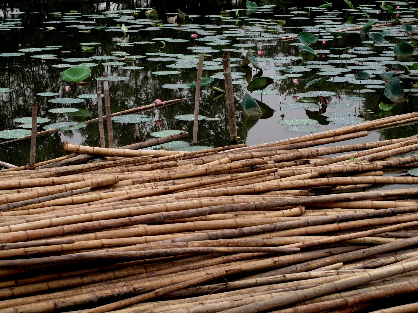 Bamboo floating in water. Photo from Sabine R via Unsplash.